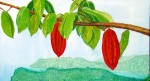 Looking over to Maracas Bay - Cocoa tree -detail